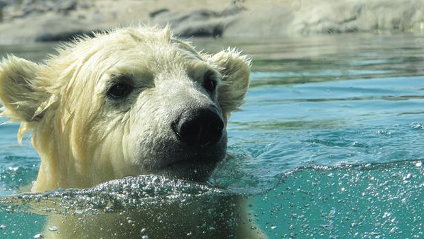 polar-bear-591646_1280