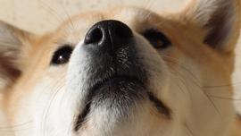 世界中で「和犬ブーム」到来中!インスタグラムで人気の柴犬動画を集めてみた