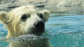 思わず笑顔になってしまう白クマのプール遊びから動物映像のすごさを知る