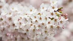 日本各地の桜の名所巡りは動画でできる!