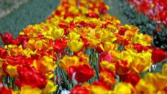 色とりどりの花の映像を音楽とともに動画で楽しもう!