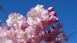 花見で食べたい、重箱弁当レシピ!定番メニューから、話題の「おにぎらず」まで【レシピ動画】